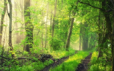 Foggy green forest wallpaper