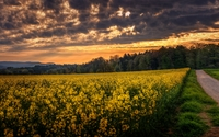 Forest by the rapeseed field wallpaper 2560x1600 jpg