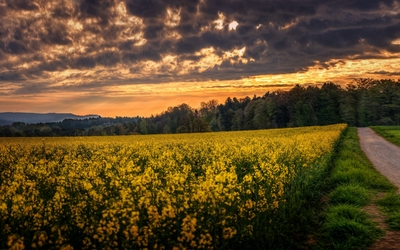 Forest by the rapeseed field Wallpaper