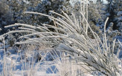 Frosty grass wallpaper