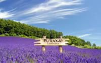 Lavender field in Furano, Japan wallpaper 1920x1200 jpg