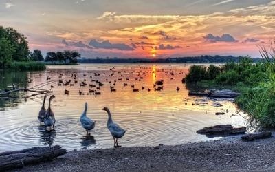 Geese at sunset lake wallpaper