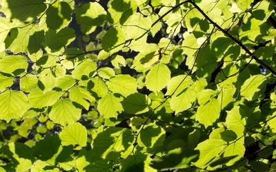 Green linden leaves wallpaper