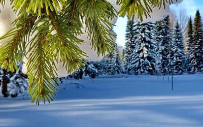 Green pine under the thick snow wallpaper