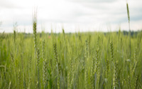 Green wheat wallpaper 3840x2160 jpg