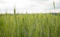 Green wheat wallpaper 3840x2160 jpg