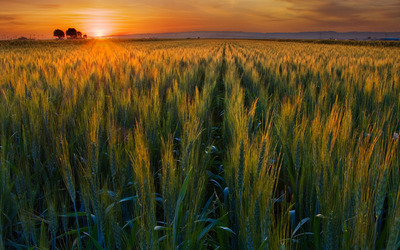 Green wheat field in the sunset wallpaper