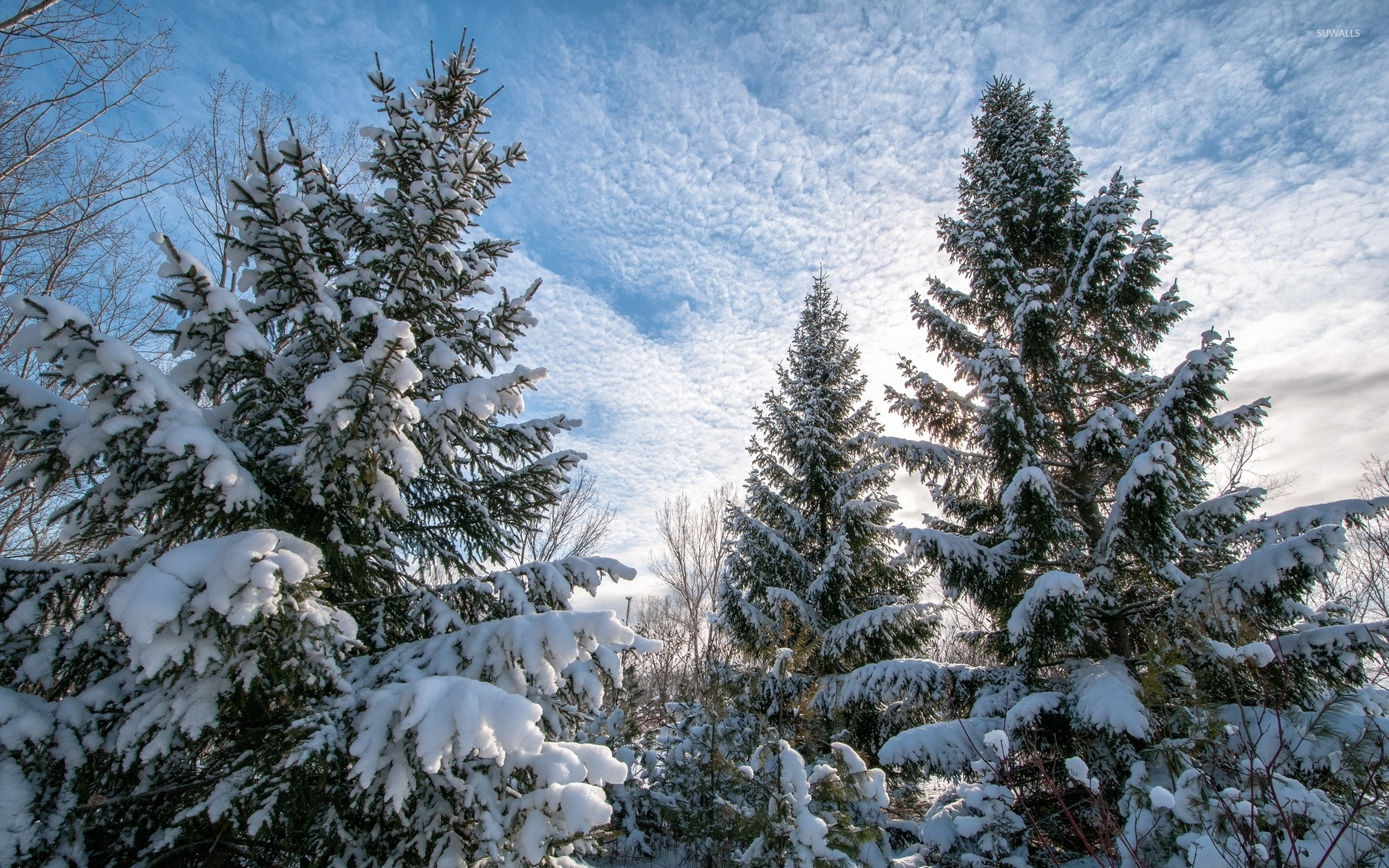 heavy snow on the tall pine trees wallpaper nature
