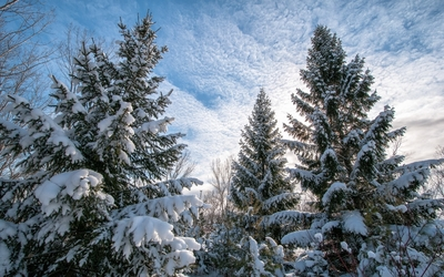 Heavy snow on the tall pine trees wallpaper