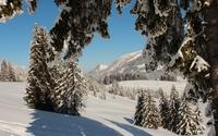 Heavy snow over the pine trees wallpaper 2560x1600 jpg