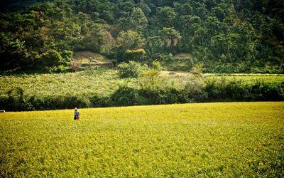 Korean rice field wallpaper