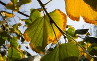 Linden leaves beginning to dry wallpaper 3840x2160 jpg