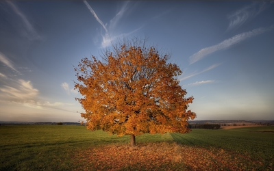 Lonesome autumn tree losing its leaves on the field wallpaper
