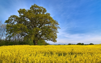 Lonesome tree in rapeseed field wallpaper