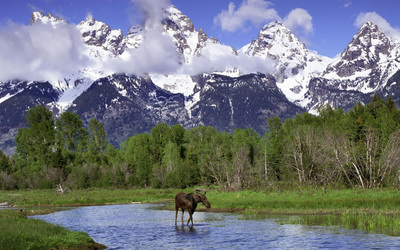 Moose in Grand Teton National Park wallpaper