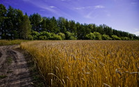 Muddy path aside the wheat field wallpaper 2560x1600 jpg