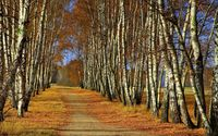 Path through birch trees wallpaper 2560x1600 jpg