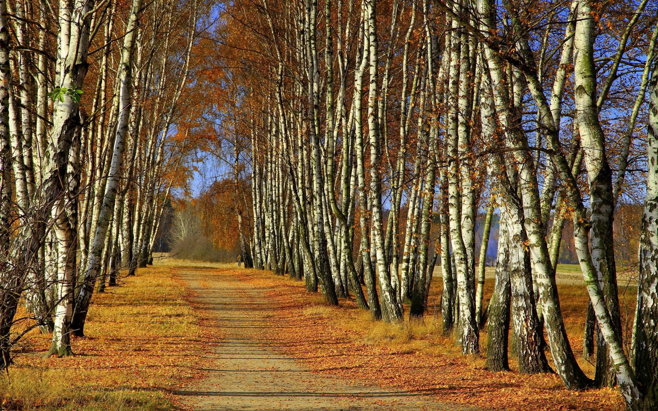 Path through birch trees wallpaper nature wallpapers for Tree wallpaper for walls