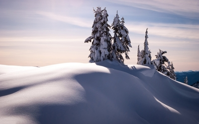 Pine trees rising from the snow wallpaper