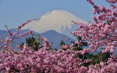 Pink blossoms near Mount Fuji wallpaper
