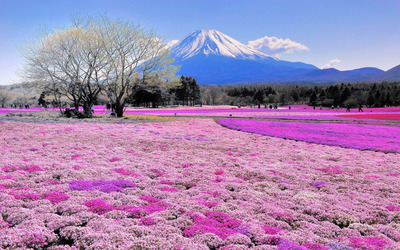Pink flower field and Mount Fuji wallpaper
