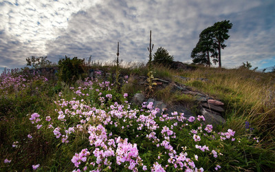Pink flowers on the hillside wallpaper