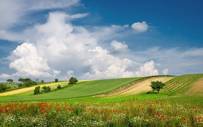 Poppies and daisies on the green field wallpaper