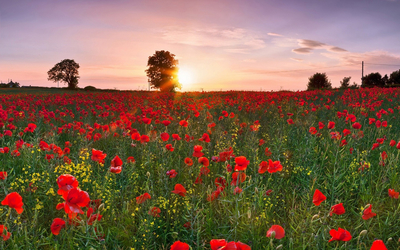 Poppies at sunset wallpaper