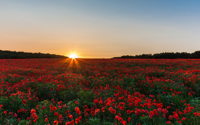 Poppy field at sunrise wallpaper