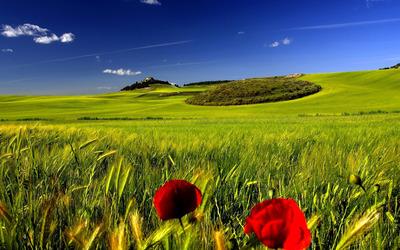 Poppy in the field wallpaper
