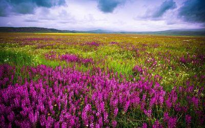 Purple flowers on the field [2] wallpaper