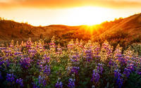 Purple wildflowers in the sunset wallpaper 1920x1080 jpg
