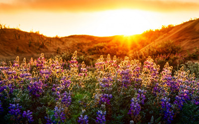 Purple wildflowers in the sunset wallpaper