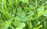 Raindrops on clover leaves wallpaper 1920x1080 jpg