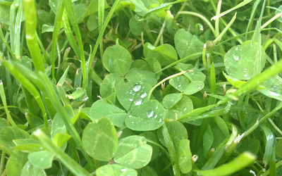 Raindrops on clover leaves wallpaper