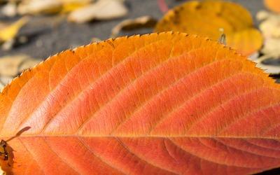 Red leaf [2] wallpaper