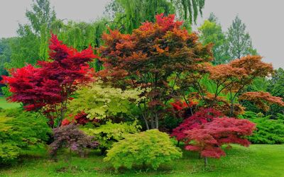 Red maple trees wallpaper
