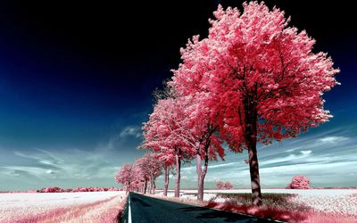 Roadside pink trees wallpaper