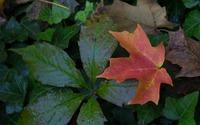 Single red leaf wallpaper 2560x1600 jpg
