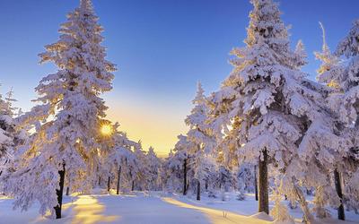 Snowy firs wallpaper