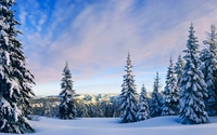 Snowy pine trees rising towards the sky wallpaper 2560x1600 jpg