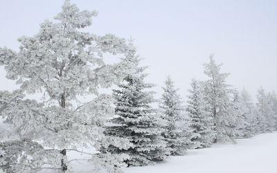 Snowy trees [3] wallpaper