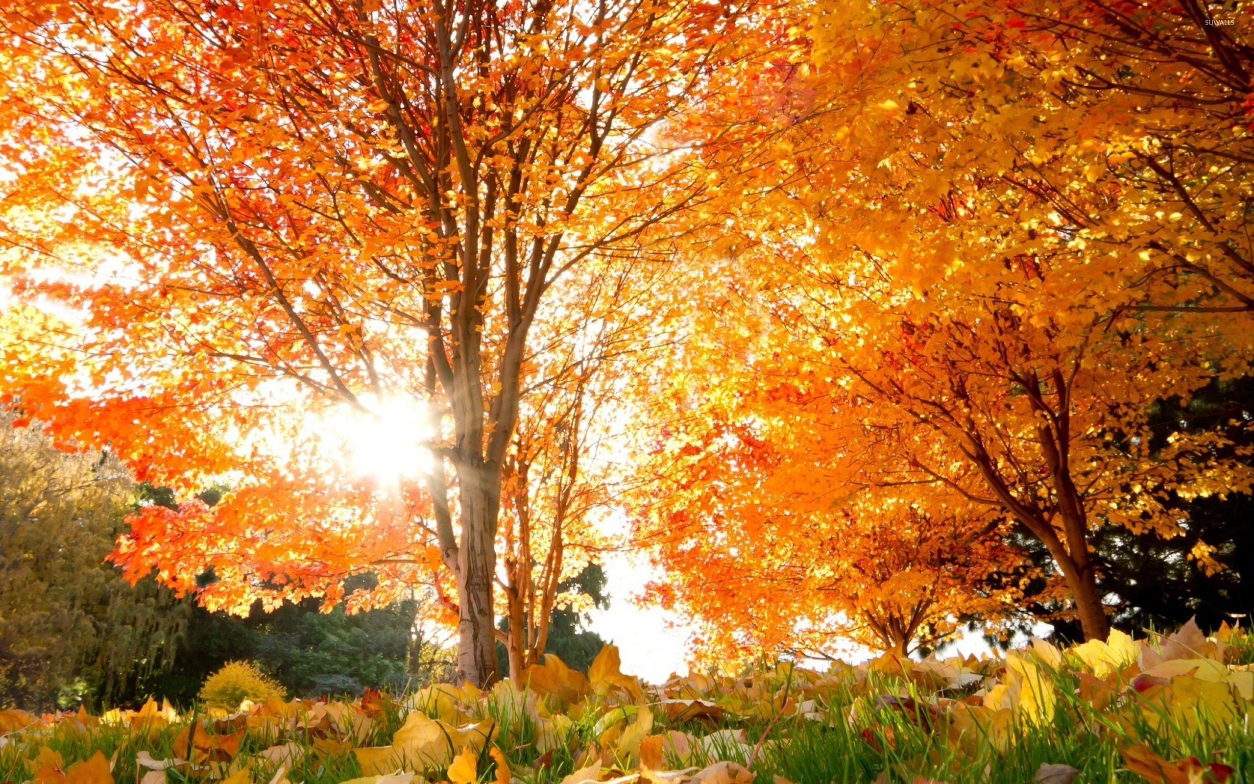 autumn trees in the park wallpaper - nature wallpapers - #34855