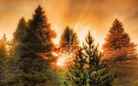 Sun light through pine trees wallpaper 1920x1200 jpg
