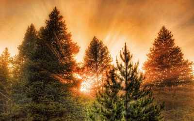 Sun light through pine trees Wallpaper