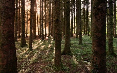 Sun light through the mossy forest wallpaper