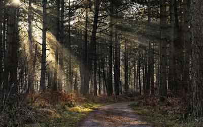 Sunlight through the forest wallpaper