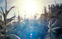 Sunlit snowy pine trees wallpaper 1920x1200 jpg