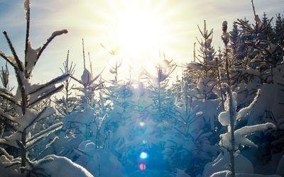 Sunlit snowy pine trees wallpaper