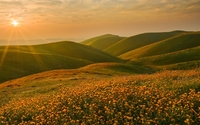 Sunset light shining upon the golden flowers wallpaper 1920x1080 jpg